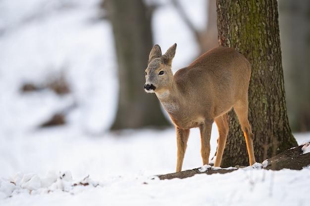 Veado, capreolus capreolus, corça olhando para o lado na floresta no inverno