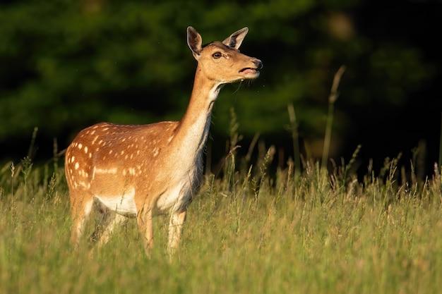 Veado cervo chamando em um prado verde sob o sol de verão