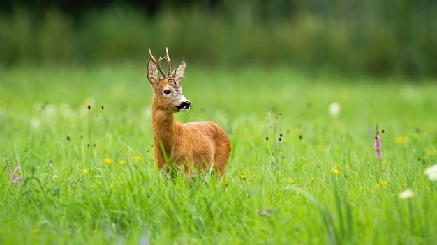 Veado cervo em pé em um prado verde e olhando para o lado na natureza do verão