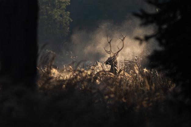 Veado cervo vermelho na névoa de outono de manhã