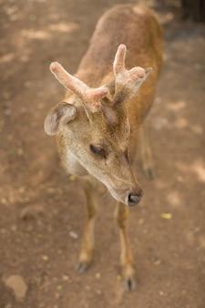 Veado jovem cervo / capreolus capreolus / em pé na campina e observando