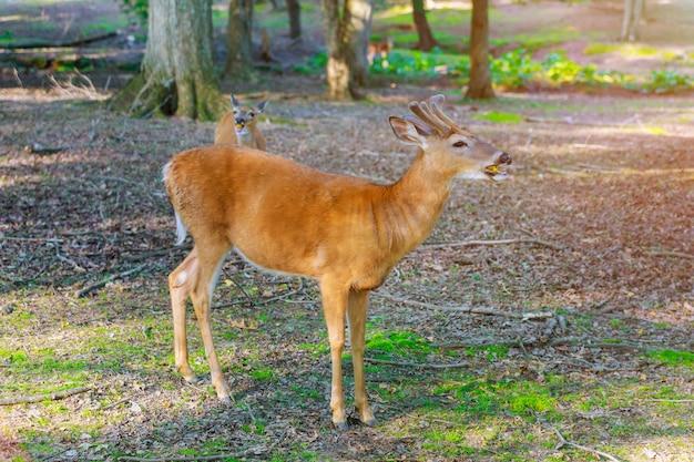 Veado jovem comendo cenoura na floresta verde