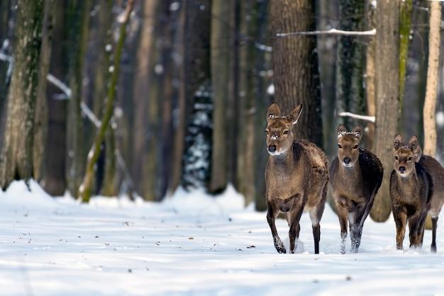 Veado jovem na floresta de inverno