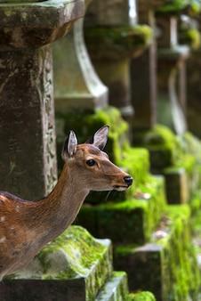 Veado jovem no parque de nara entre lanternas de pedra desfocadas cobertas de musgo verde