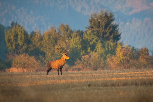 Veado majestoso veado vermelho parado na campina na manhã de outono