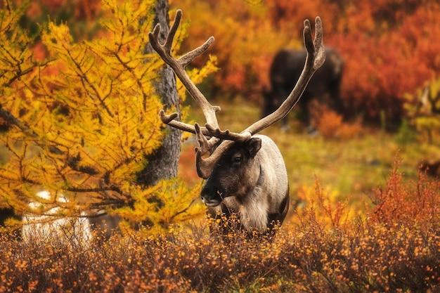 Veado na floresta de outono