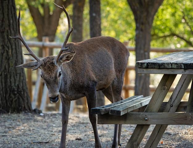Veado no parque nacional monfrague. espanha.