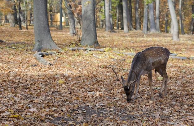 Veado no parque outono 2