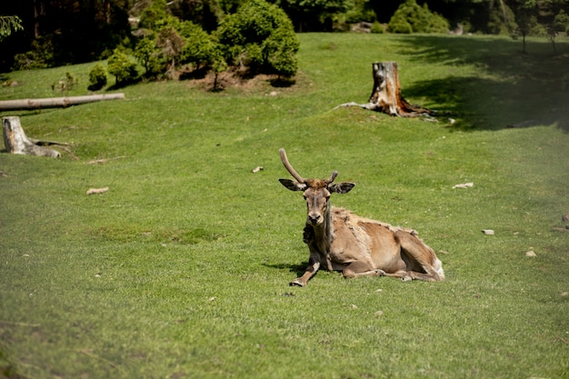Veado velho encontra-se na grama em um dia ensolarado.