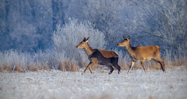 Veado-vermelho, cervus elaphus, correndo no prado com grama coberta de geada no inverno.