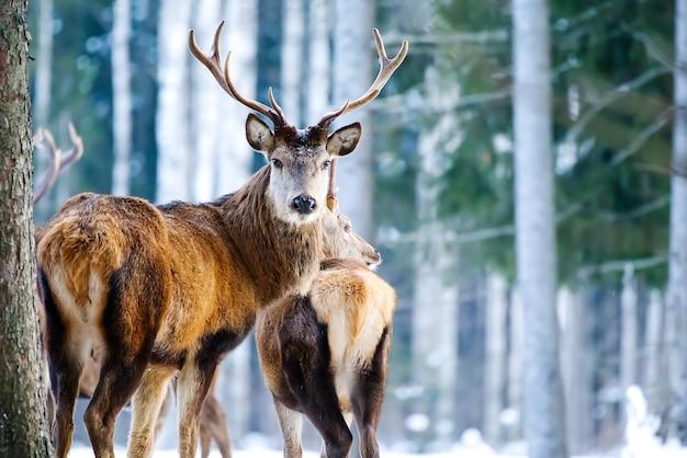 Veado-vermelho na floresta de inverno. vida selvagem, proteção da natureza. criação de veados em seu ambiente natural.