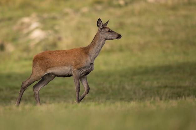 Veado-vermelho no habitat natural durante a vida selvagem europeia da rotina dos cervos