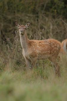 Veado-vermelho no habitat natural durante o cio