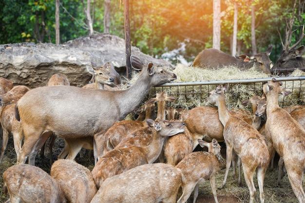 Veados pastam comida de grama - vários cervos na fazenda