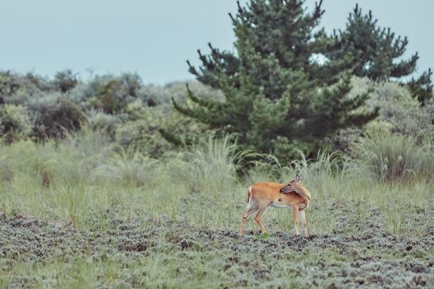 Veados selvagens ao ar livre na floresta comendo grama sem medo bonita e fofa