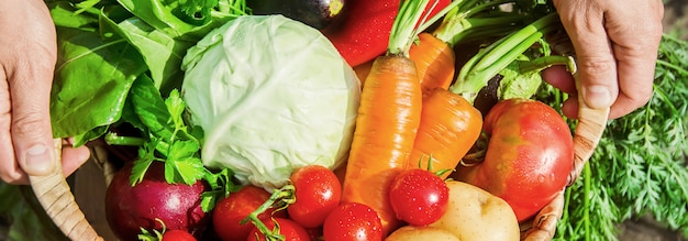 Vegetais caseiros nas mãos dos homens. colheita. foco seletivo.