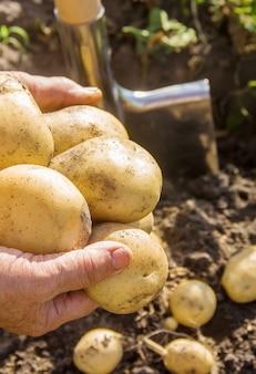 Vegetais caseiros orgânicos batatas da colheita. foco seletivo.
