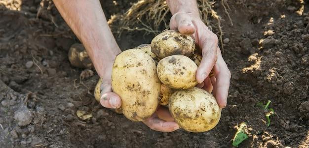 Vegetais caseiros orgânicos nas mãos de batatas masculinas.