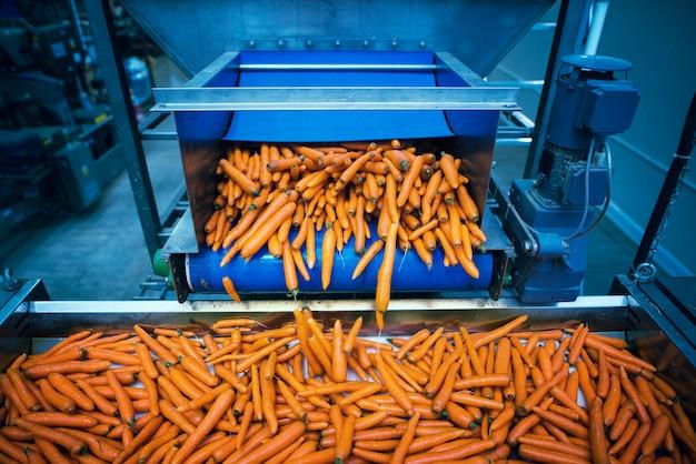 Vegetais de cenoura sendo lavados e selecionados por máquina industrial
