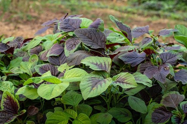 Vegetais de espinafre ou amaranto vermelho em jardins