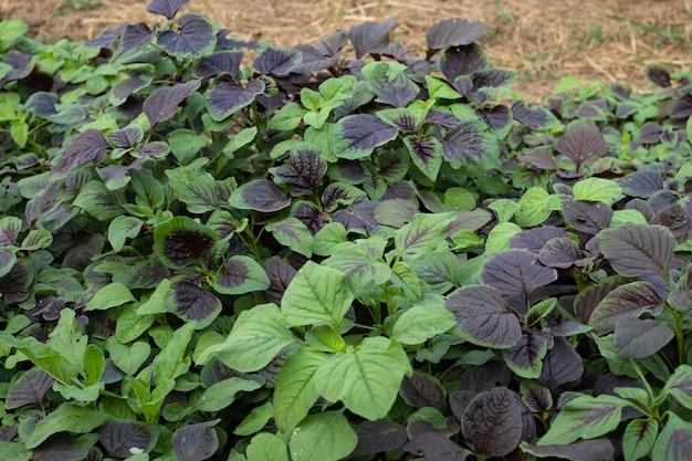 Vegetais de espinafre ou amaranto vermelho no jardim