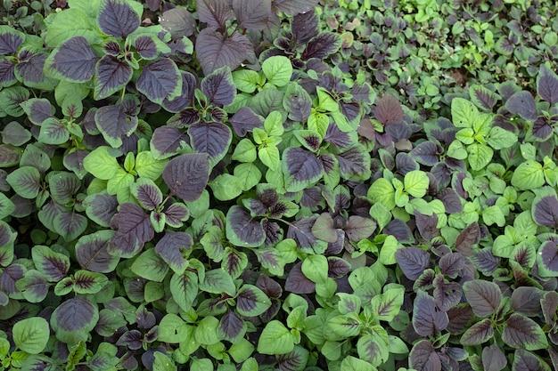 Vegetais de espinafre ou amaranto vermelho