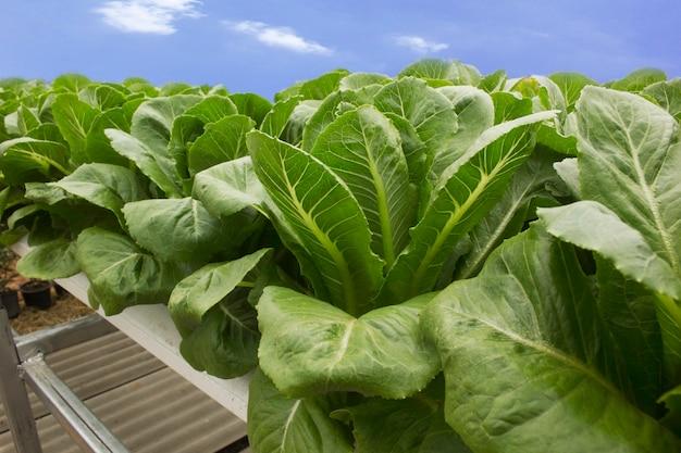 Vegetais de folhas verdes são cultivados usando métodos hidropônicos.