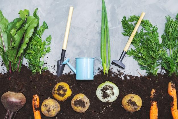 Vegetais de raiz no solo e ferramentas de jardim em um fundo cinza. camada plana, vista superior. conceito de comida saudável.