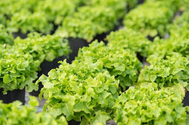 Vegetais frescos da alface hidropônica na estufa.