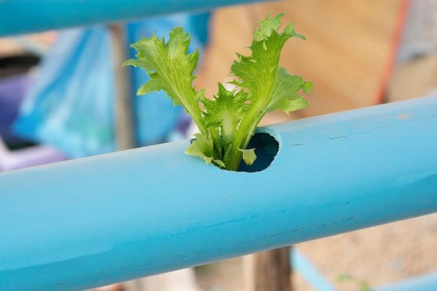 Vegetais hidropônicos crescendo em tubo de pvc