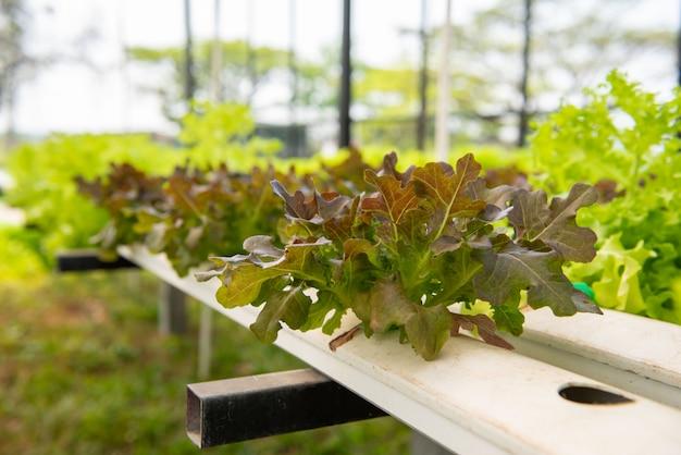 Vegetais hidropônicos na exploração agrícola plantação verde hidropônica orgânica dos vegetais da alface de folha no sistema próximo para saudável.