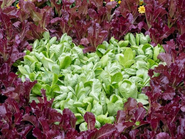 Vegetais hidropônicos ou vegetais não tóxicos