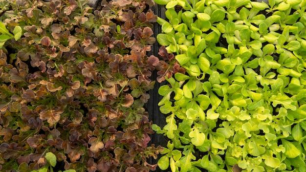 Vegetais orgânicos em uma área externa ao ar livre é um vegetal seguro e tem um preço alto.