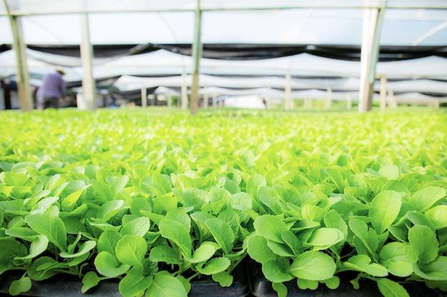 Vegetais orgânicos estão crescendo com a luz do sol na fazenda.