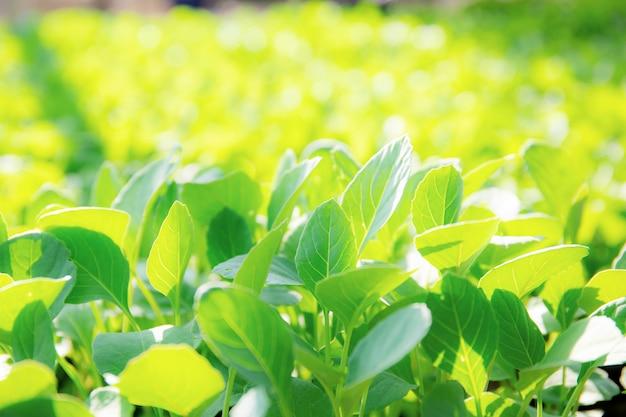 Vegetais orgânicos estão crescendo com a luz solar.