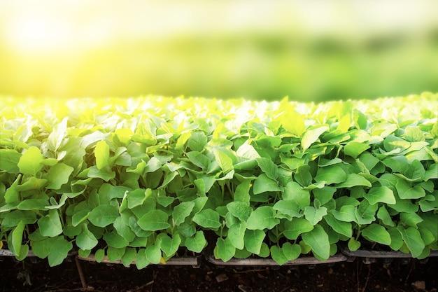 Vegetais orgânicos estão crescendo em um terreno em casa verde com a luz do sol.