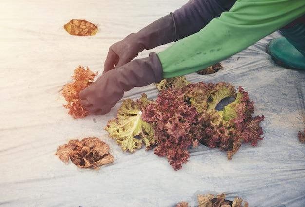 Vegetais organícos. mãos de agricultores com legumes recém-colhidas de carvalho verde