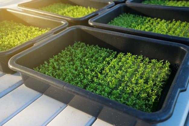 Vegetais organícos. plantio hidropônico