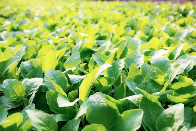 Vegetais orgânicos verdes crescendo com a luz do sol.