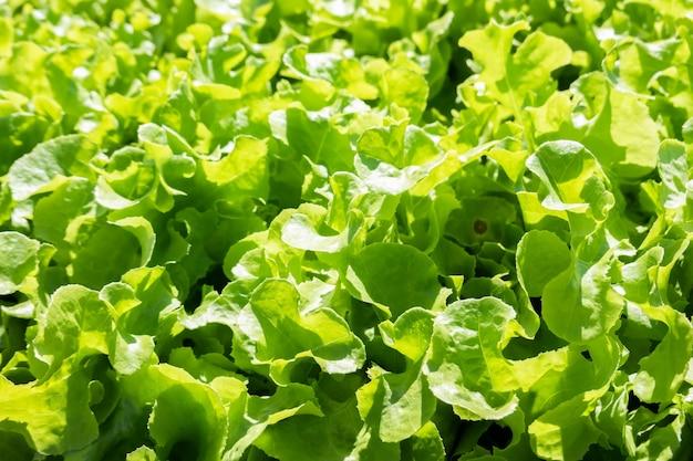 Vegetais verdes orgânicos na fazenda em um dia ensolarado