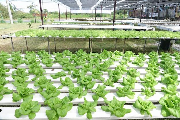 Vegetal de carvalho verde na fazenda hydro