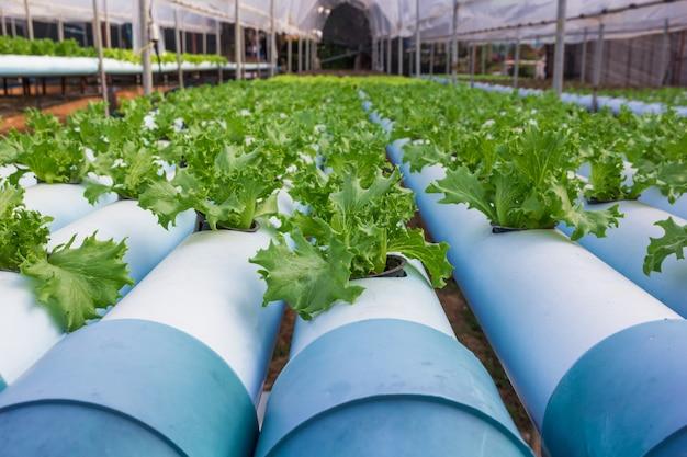 Vegetal de fazenda orgânica