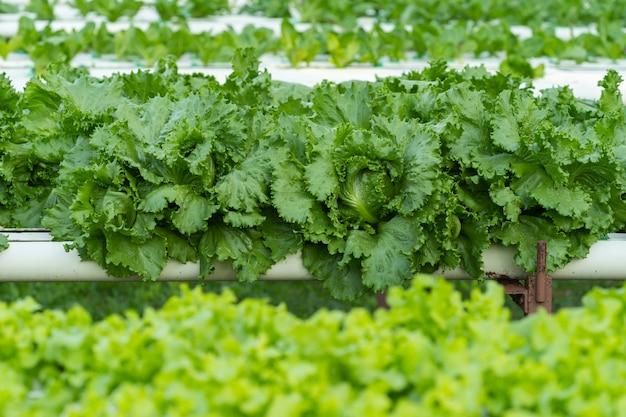 Vegetal de hidroponia de alface verde
