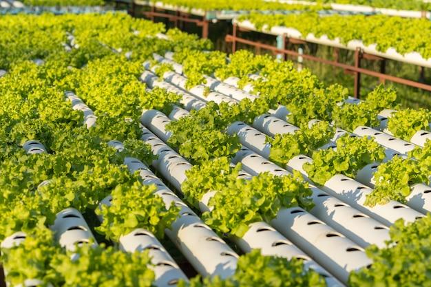 Vegetal de hidroponia de carvalho verde
