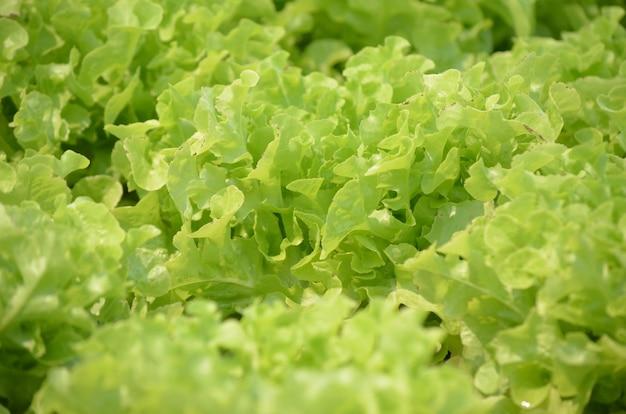 Vegetal de salada para alimentos saudáveis na fazenda