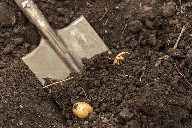 Vegetal do campo da batata com tubérculos na superfície da sujeira do solo