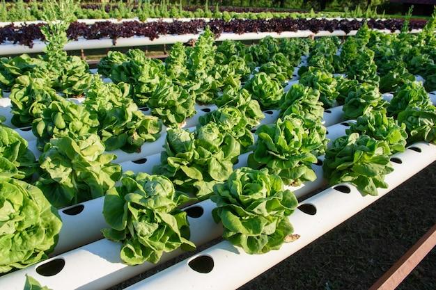 Vegetal hidropônico orgânico na fazenda de cultivo