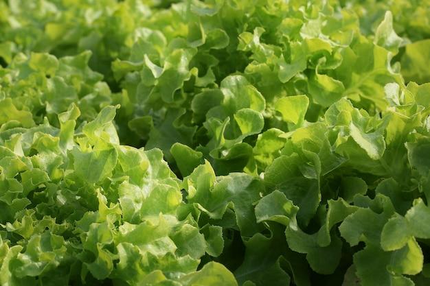 Vegetal orgânico fresco no campo vegetal hidropônico.