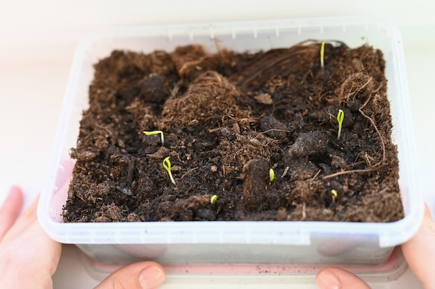 Vegetariano cresce vegetais em casa. as mãos seguram brotos de legumes. cultive alimentos em casa. comida ecológica.