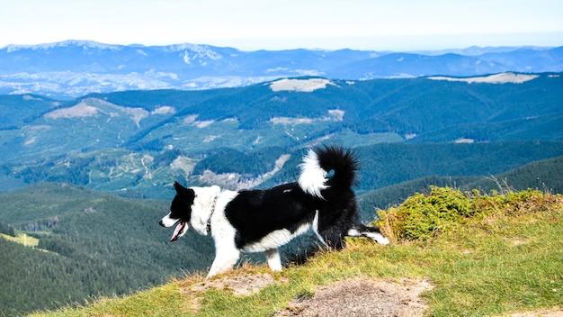Veja enquanto escala o monte hoverla. vista da montanha, florestas e nuvens. cárpatos ucranianos. céu azul. paisagem natural. cão andando